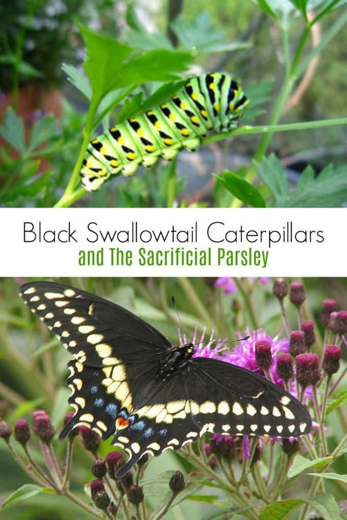 Black Swallowtail Caterpillars and the Sacrificial Parsley Plant
