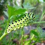 black-swallowtail-caterpillar-resized
