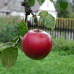 apple on tree in backyard