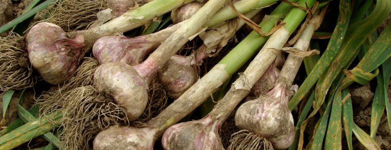 Growing Your Own Garlic Starts in the Fall!