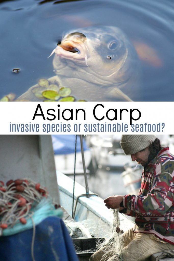 collage of asian carp in water and fishermen on boat with text 'asian carp invasive species or sustainable seafood'