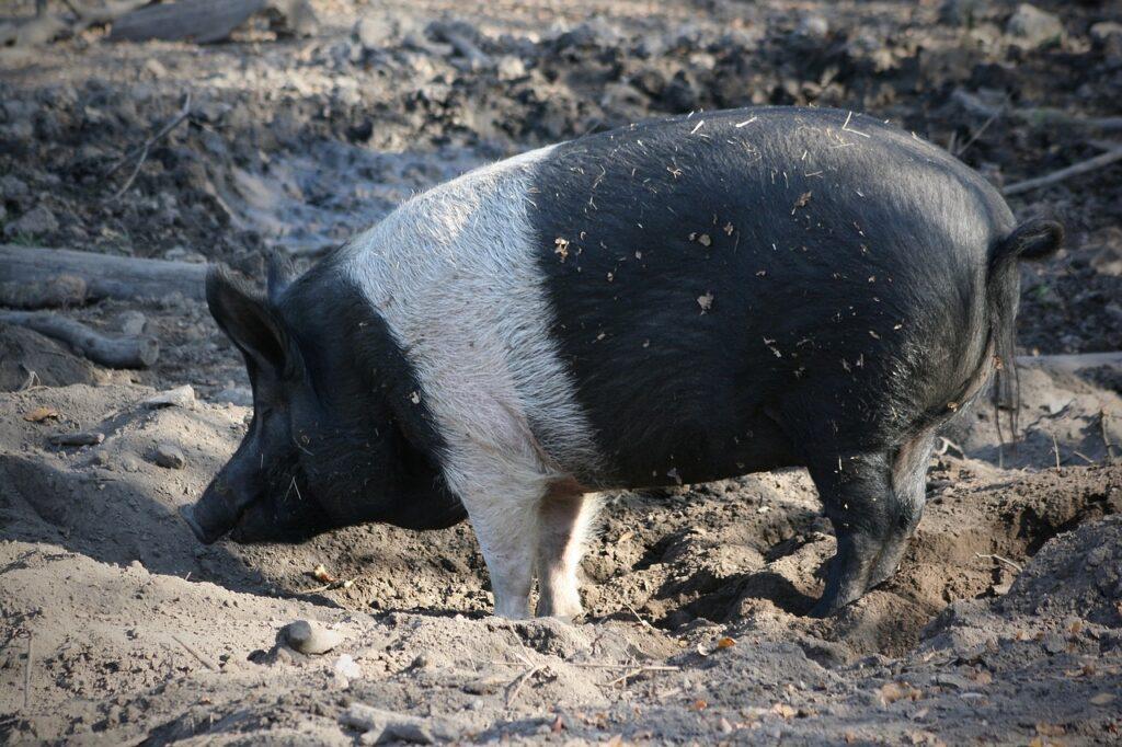 heritage pig loose in dirt