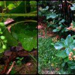 Garden Update: The Fruits of My Labor