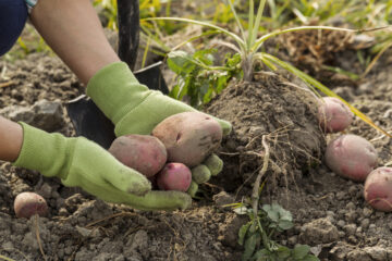 Digging Fresh Red Potatoes from Ground