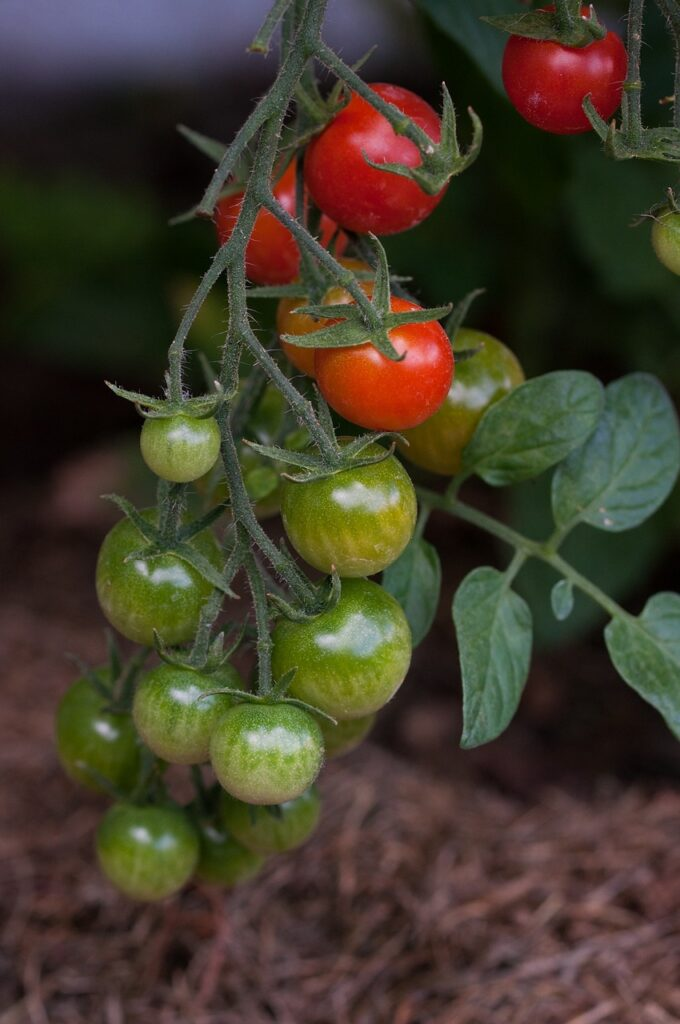 cherry tomatoes on the vine growing in soil