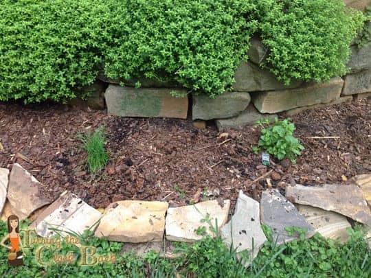 herbs for an organic garden