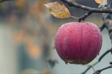 apple on tree in the fall