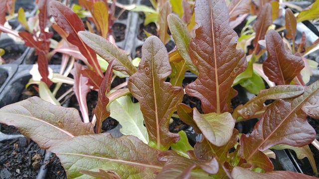 salad greens growing in fall garden