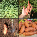 fall gardening sweet potatoes eidt