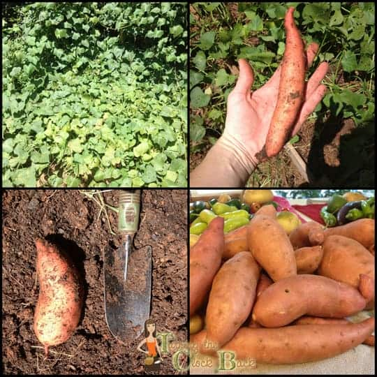 fall gardening sweet potatoes eidt