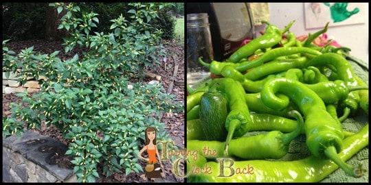 fall gardening the pepper harvest edit