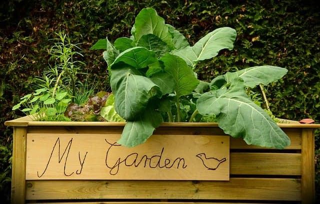 raised bed garden with lettuce growing in it