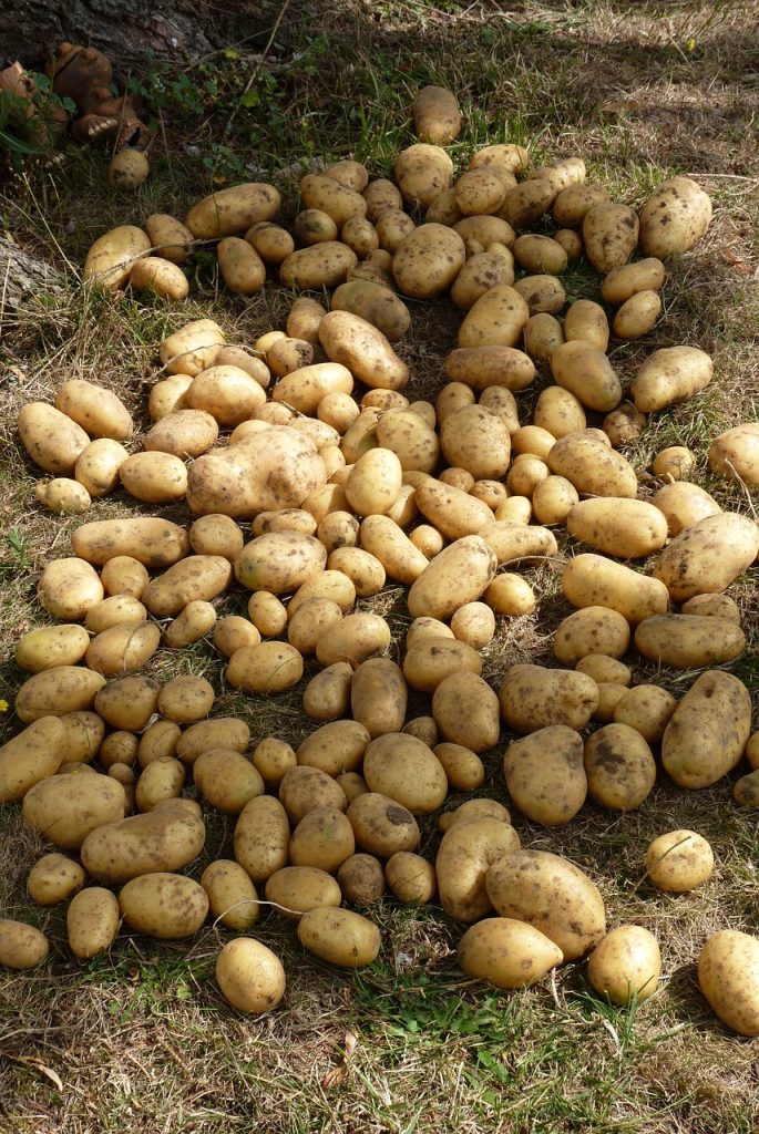 potatoes on the ground after being harvested from the garden