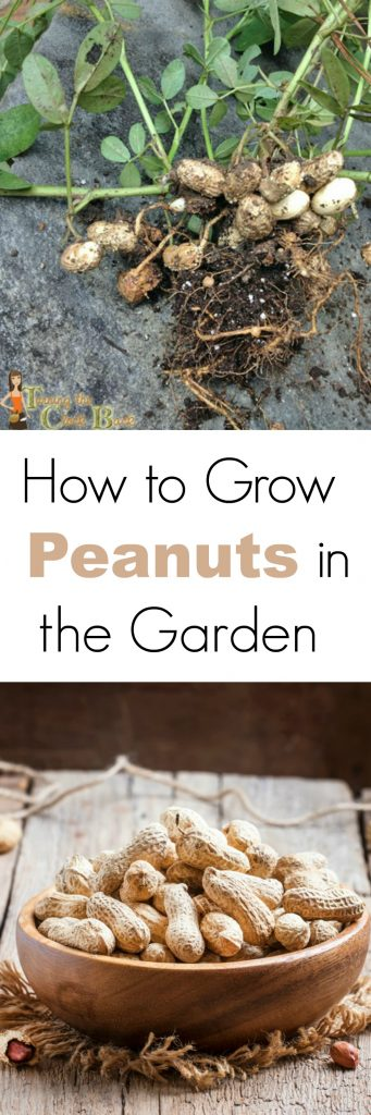 How to Grow Peanuts in your Backyard Garden