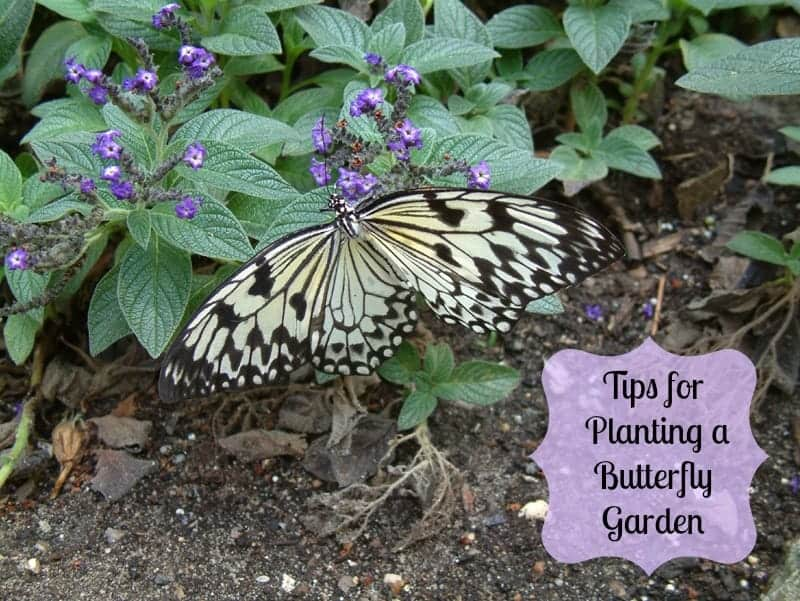tips for attracting butterflies to your yard 2