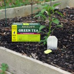 How to Plant a Teabag Garden (#AmericasTea #shop)