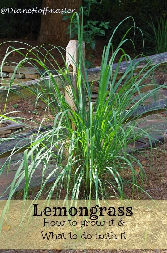 How to grow lemongrass and what to do with it!