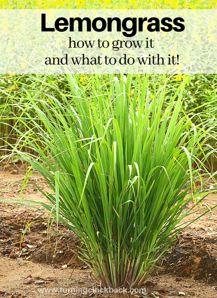 Lemongrass growing outside with text Lemongrass how to grow it and what to do with it