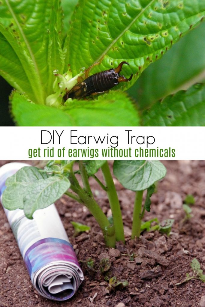 DIY earwig trap to get rid of earwigs without chemicals