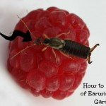 Easy DIY Earwig Trap for Your Garden!