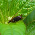 DIY Earwig Trap for Your Garden