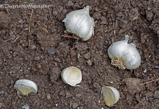 garlic bulbs in the soil for planting in a fall garden