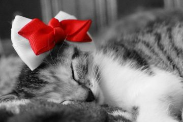 cat sleeping with christmas bow on