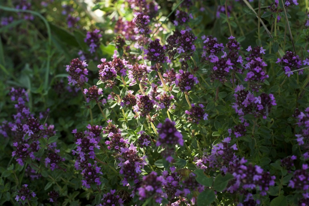 HOw to grow thyme in a backyard herb garden