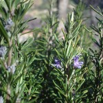 The Many Uses for Rosemary Besides Cooking!