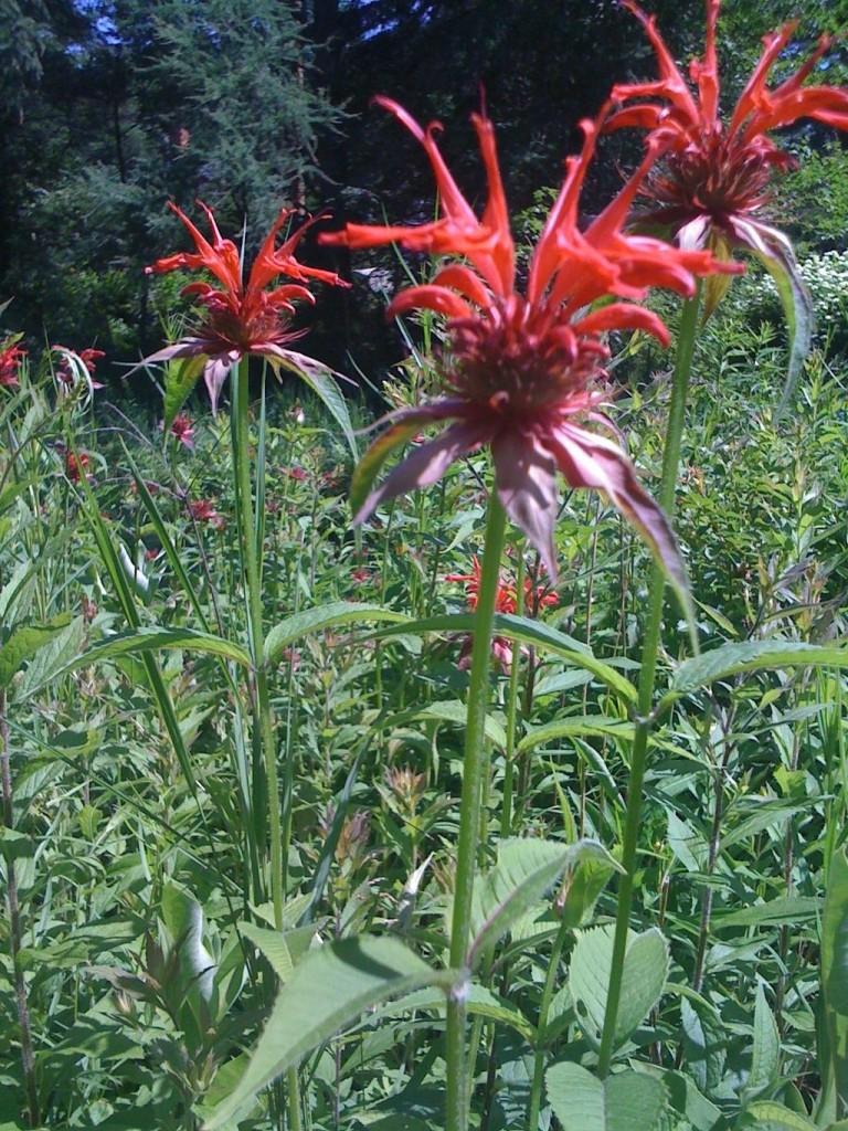 Edible flowers bee balm