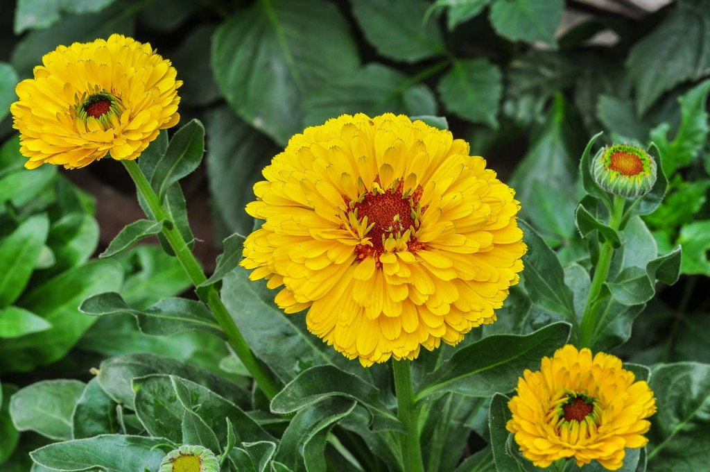 Edible Flowers Calendula or Marigold