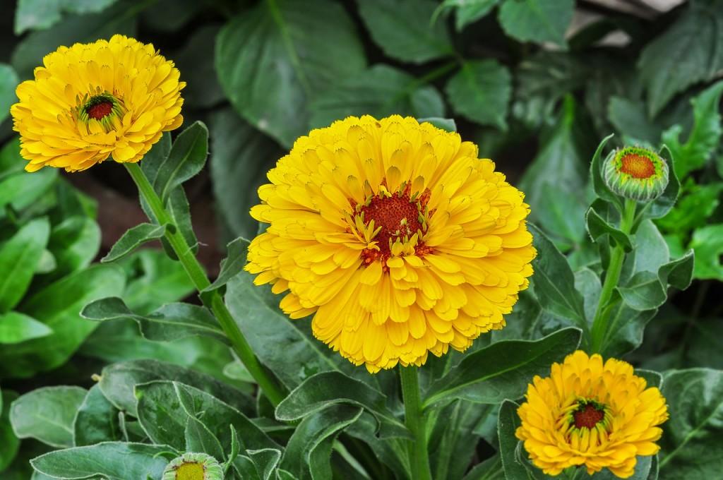Edible Flowers Calendula or Marigold