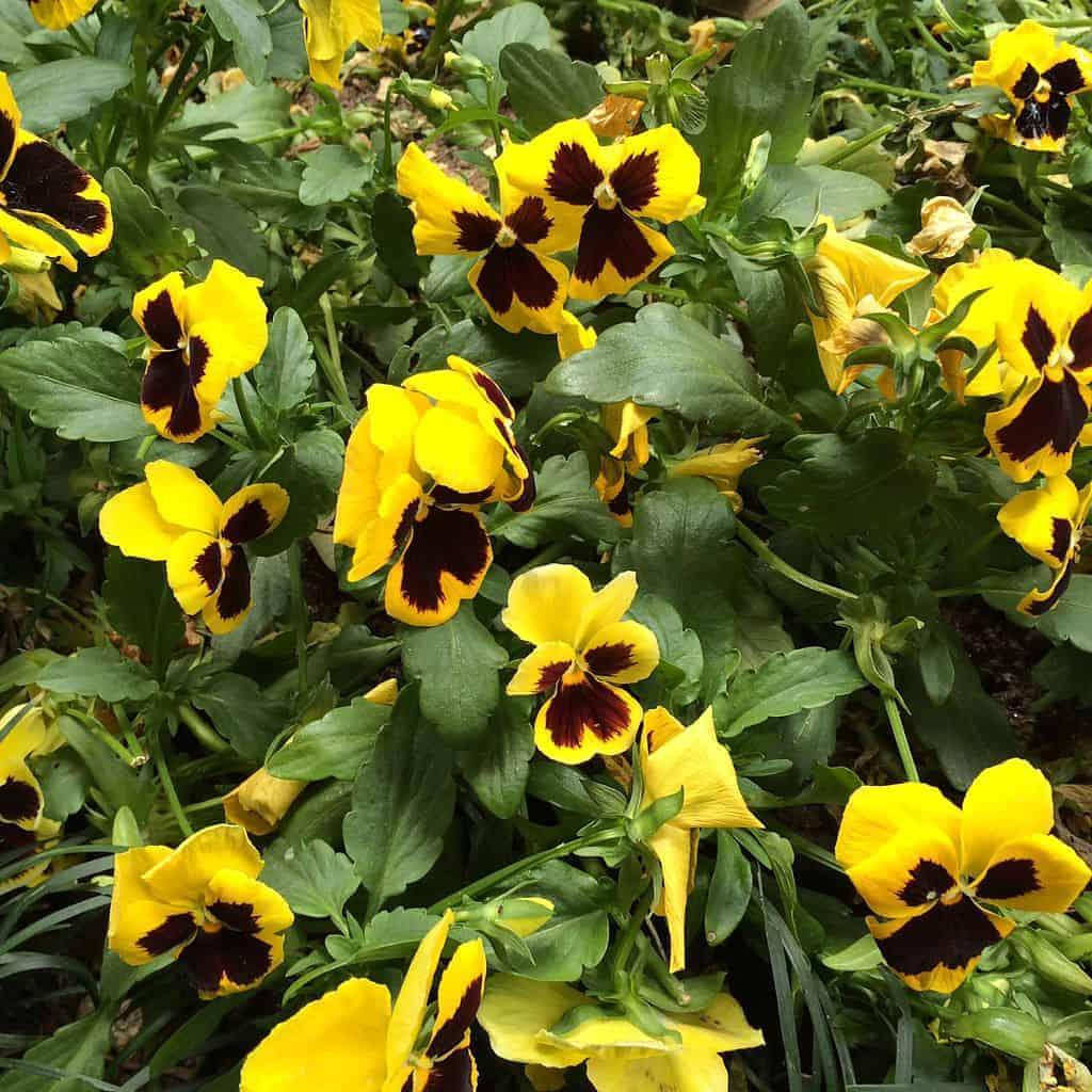 Edible Flowers Pansies