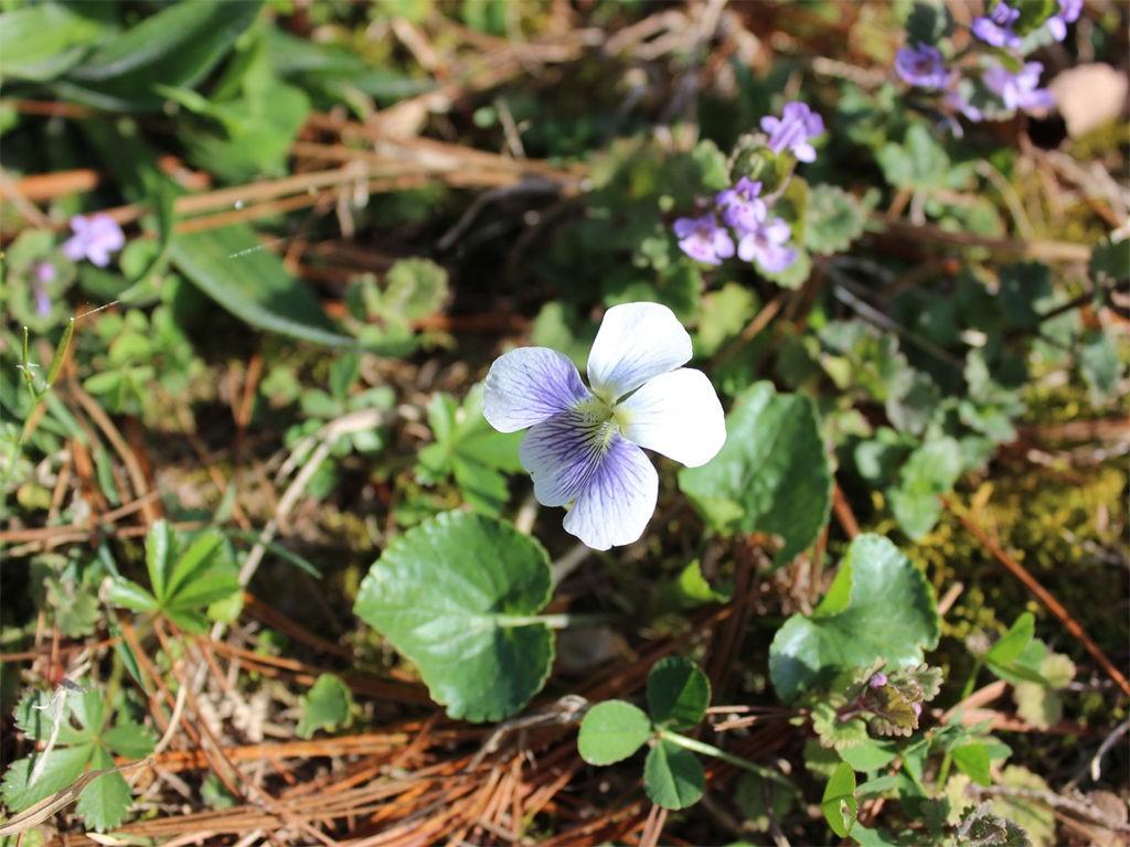 Edible Flowers Violets