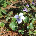 Edible Flowers Violets