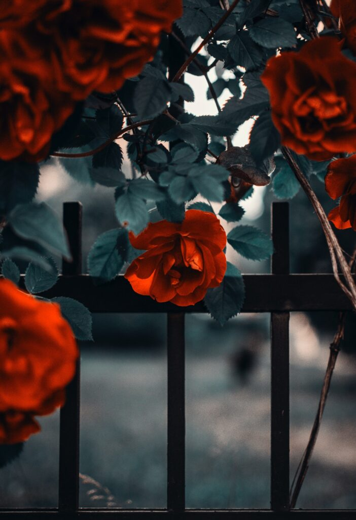 roses growing on fence
