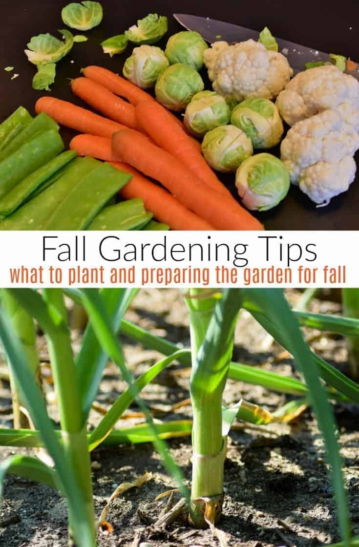 Interested in fall vegetable gardening?  Here are 5 fall crops to plant before the weather cools off as well as tips for preparing your garden for fall.