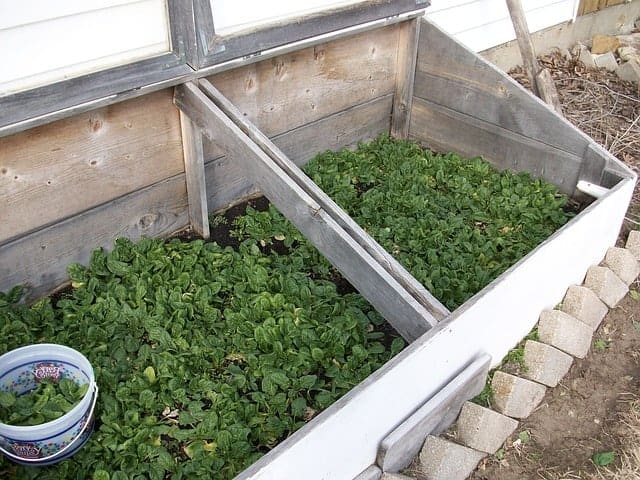 spinach in a cold frame