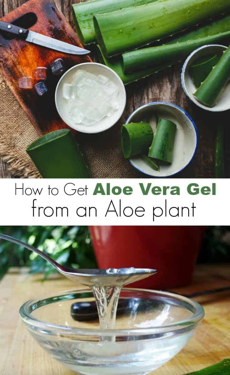 Want to learn how to get aloe vera gel from an aloe plant?  Read this step by step guide  on how to extract aloe vera from a plant for natural beauty products.