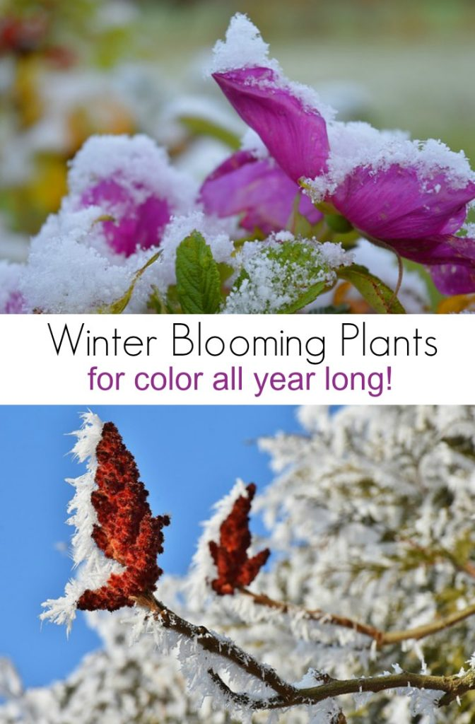 Winter Blooming Plants for Color All Year Long