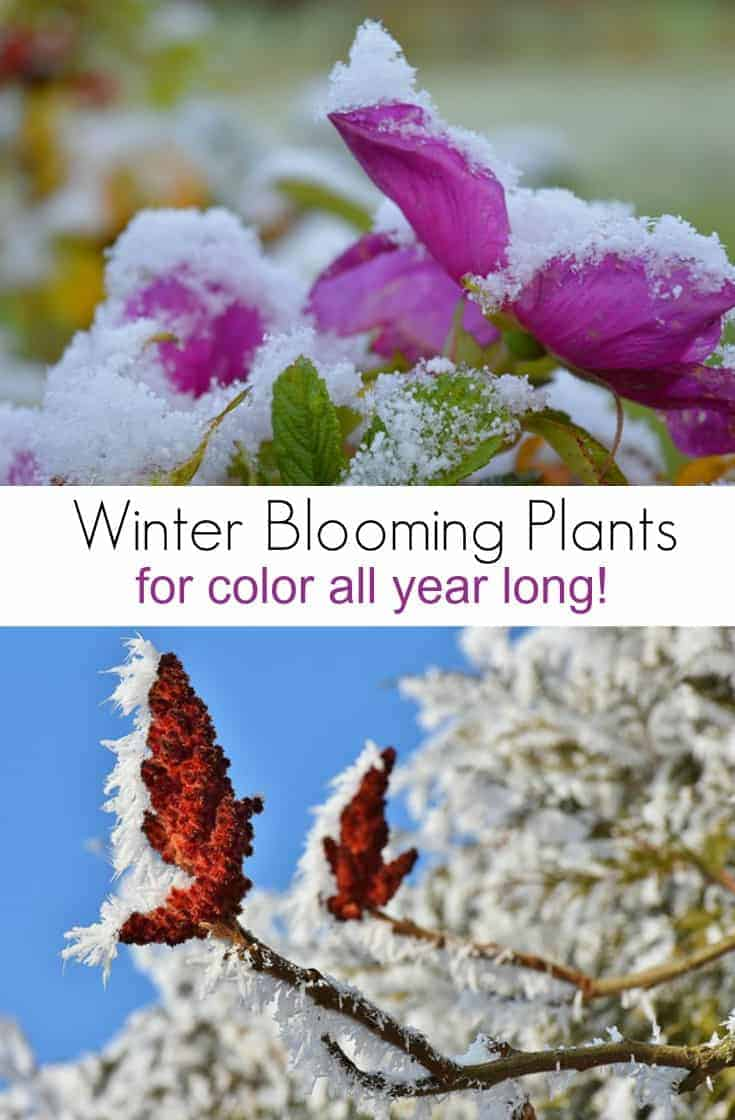 Want to add color to a dreary winter garden?  Here are a few plants that bloom in winter that you may enjoy.  Perfect if you enjoy decorating with natural elements all year long!
