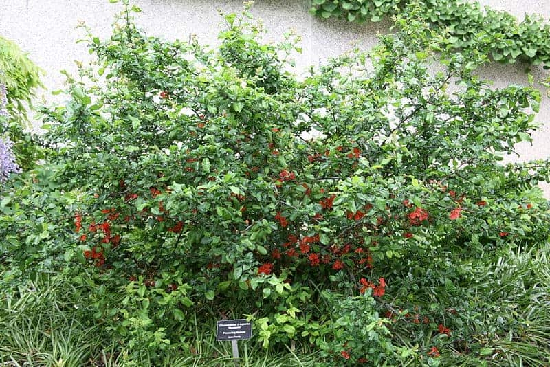 Flowering quince can make winter landscaping beautiful!