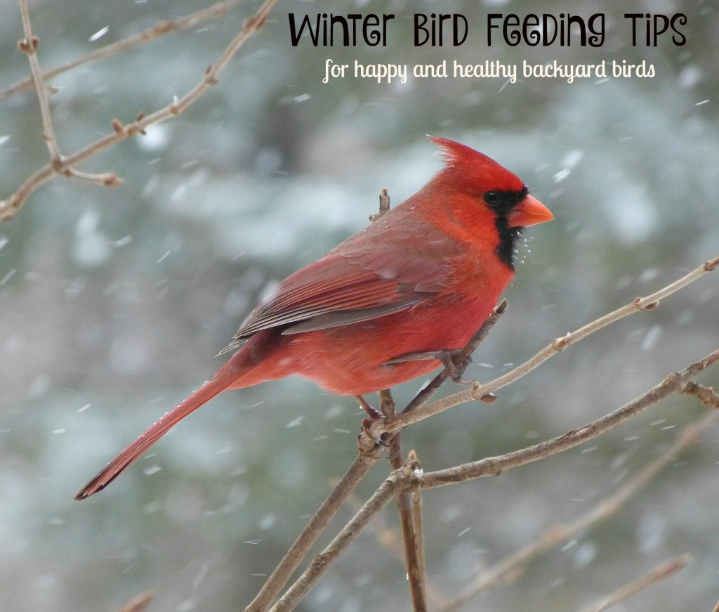 Winter bird feeding tips for happy and healthy backyard birds