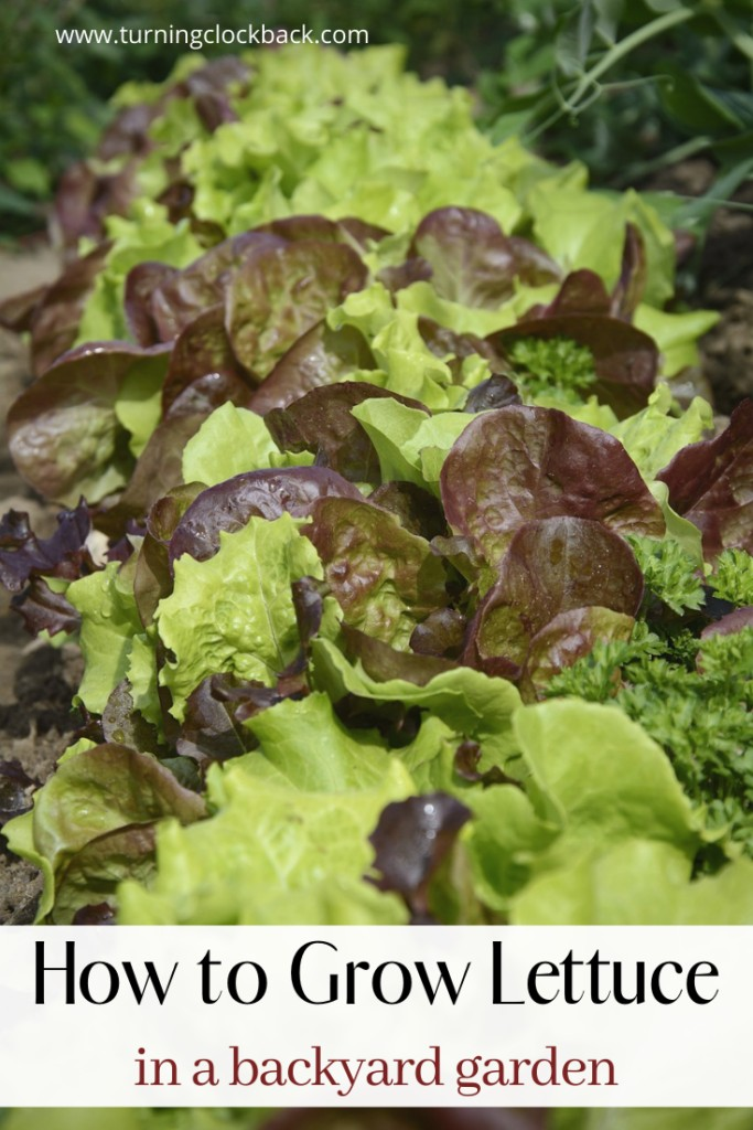 How to Grow Lettuce in a backyard garden