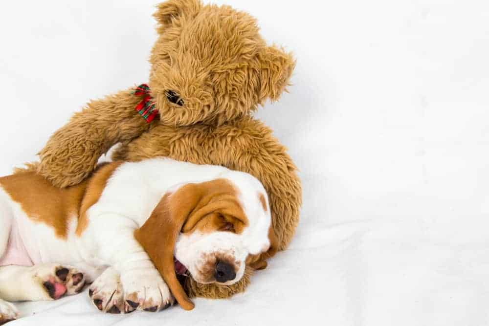 Basset puppy sleeps in teddy bears arms