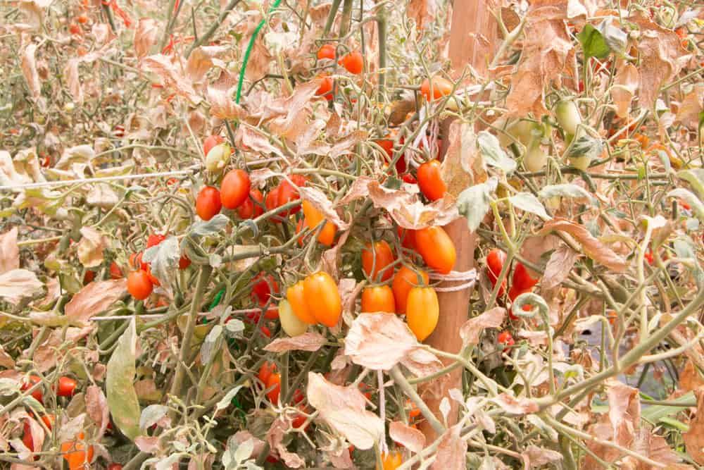 cherry tomatoes on dead plants
