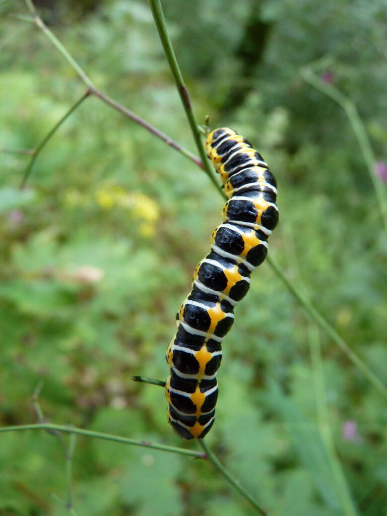 black white and yellow caterpillar-