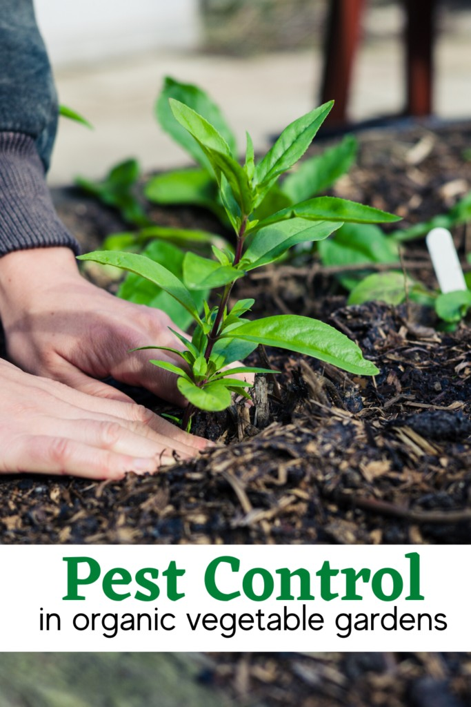 hands in soil with garden plant and text Pest Control in organic vegetable gardens