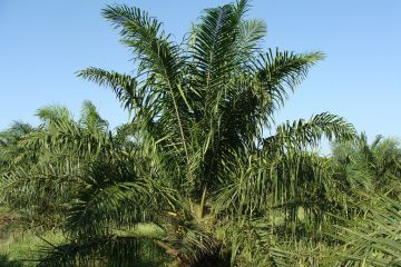 Reasons to Support Sustainable Palm Oil Suppliers