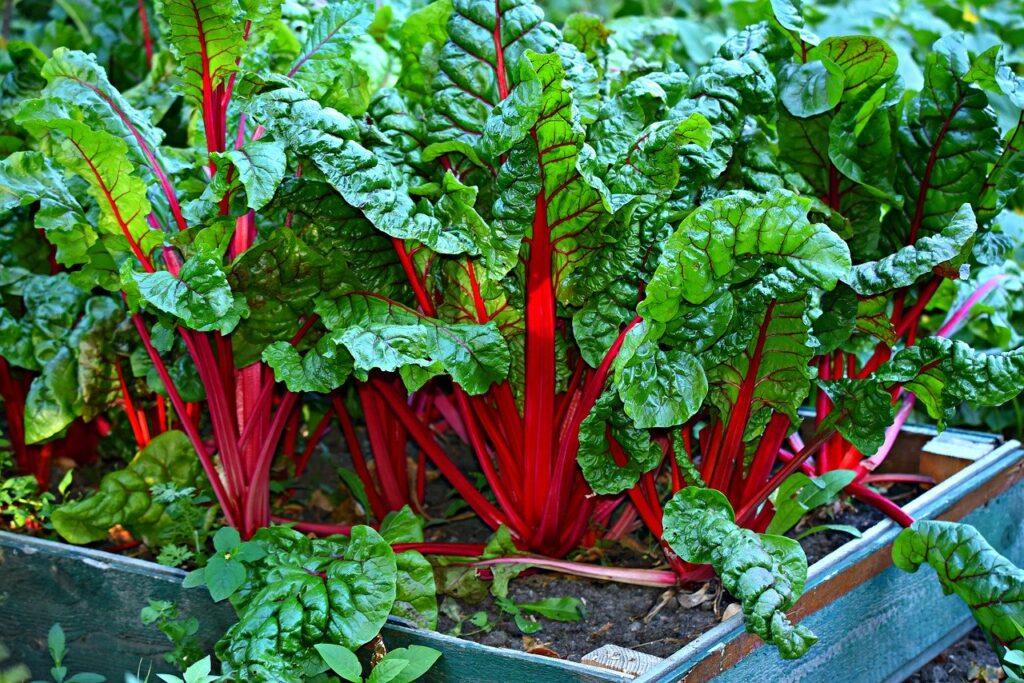 swiss chard growing in raised garden bed
